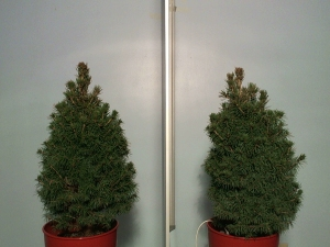 Earth & Grow Increases Drought Tolerance in Conifer Species