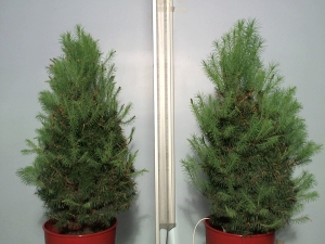 Earth & Grow dwarf Alberta spruce after 6 weeks of being connected to the Earth