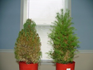 Earth & Grow Increases Drought Tolerance in dwarf Alberta spruce